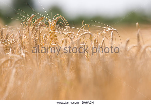 Close up of barley stalks - Stock Image