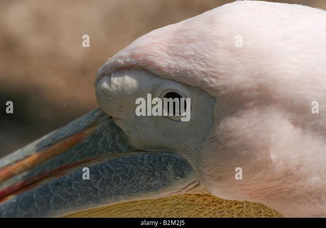 eastern white pelican pelecanus onocrotalus - Stock Image