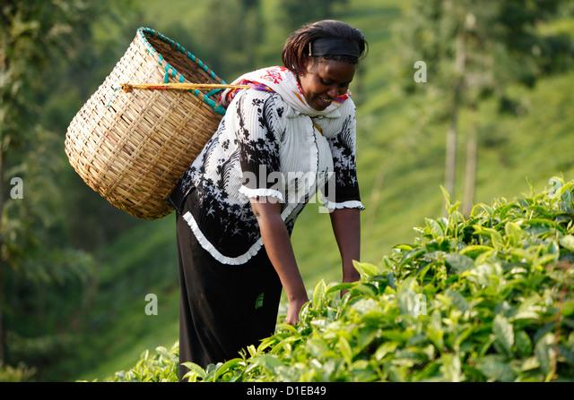 Farmer Polly Mukami picking tea, Kathangiri, Kenya, East Africa, Africa - Stock Image