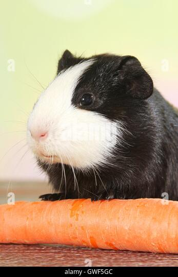Smooth-haired guinea pig - Stock Image
