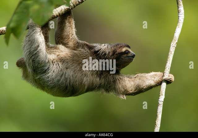 Three-toed Sloth in the 265 hectares rainforest Metropolitan park, Panama province, Republic of Panama. - Stock-Bilder