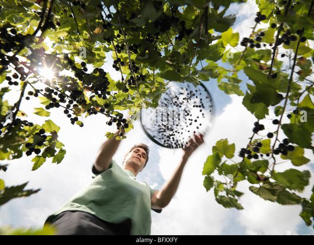 Man Harvesting Blackcurrants - Stock Image