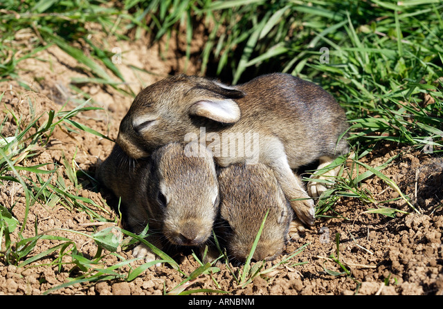 Wild Rabbit (Oryctolagus cuniculus), eight days old young - Stock Image