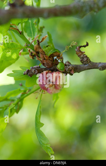 Oak Apple Gall Produced as a Reaction to Egg Laying by a Gall Wasp Biorhiza pallida UK - Stock Image