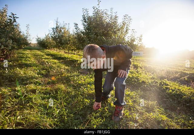 Boy in orchard bending over picking up apple from grass - Stock Image