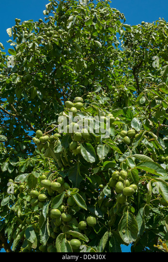 Walnut tree fruit