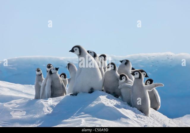 Emperor Penguin chicks climbing a small ice mound, Snow Hill Island, Antarctica - Stock Image