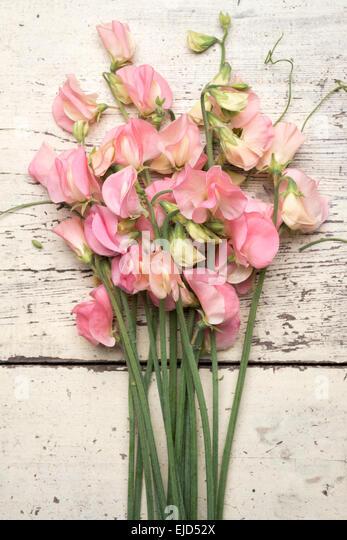 Sweet Pea (Lathyrus odoratus) Spring Sunshine Peach - Stock Image