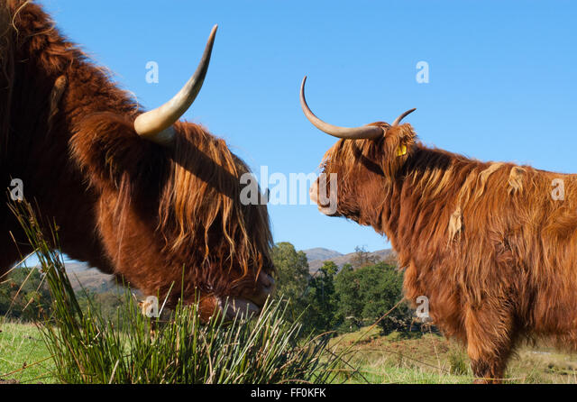 Two Scottish Highland Cows grazing in a field in Scotland - Stock Image