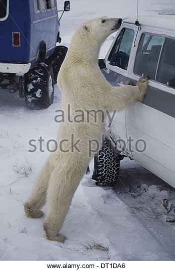Hudson Bay Canada Polar bear and tourist vehicle Ursus maritimus - Stock Image