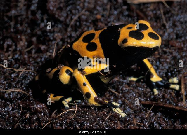 Dendrobates leucomelas, Yellow banded Poison Arrow Frog,  Poison Dart Frog - Stock Image