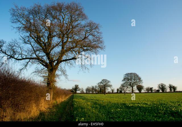 winter turnip field - Stock Image
