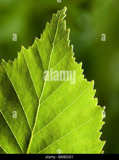 Silver birch leaf, Betula pendula - Stock Image