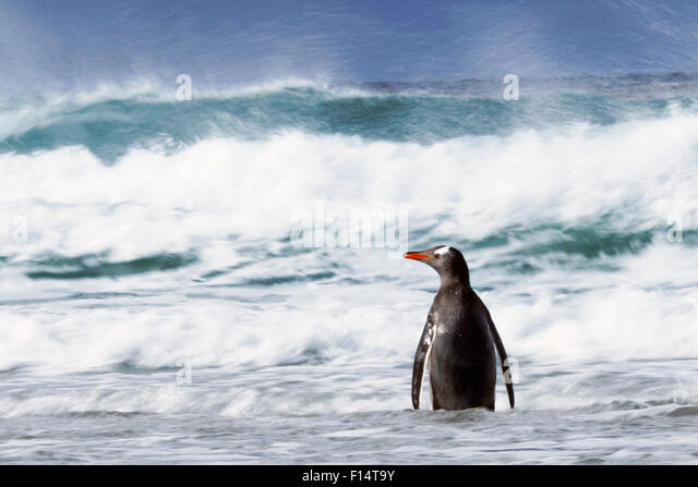Gentoo penguin (Pygoscelis papua) in waves, Saunders Island, Falkland Islands. - Stock Image