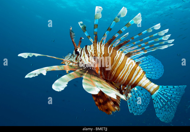 Lionfish.  Egypt, Red Sea. - Stock Image
