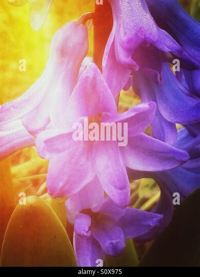 Purple hyacinth flowers - Stock Image