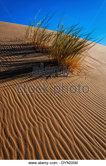 A tuft of Bushman grass shows how to survive in the desert by growing on sand dunes to provide fodder for wild animals. - Stock Image