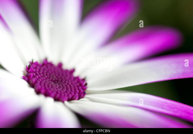 senetti flower - Stock Image