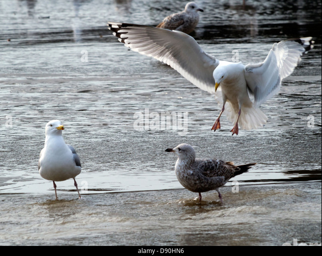 He's behind you: seagulls on the low tide sands at Brighton, East Sussex - Stock Image
