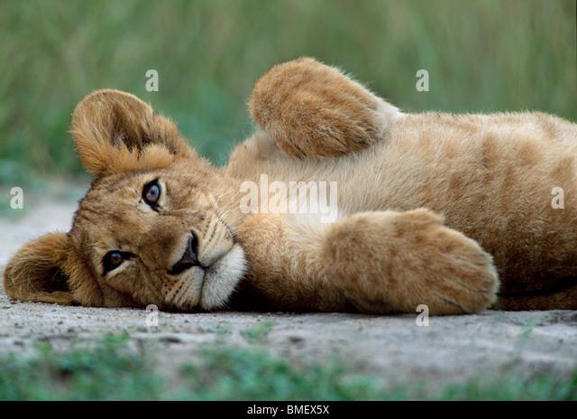 Lion cub, Queen Elizabeth Park, Uganda - Stock-Bilder