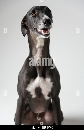 Whippet - Stock Image