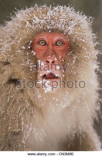 Japanese macaque, Honshu, Japan - Stock Image