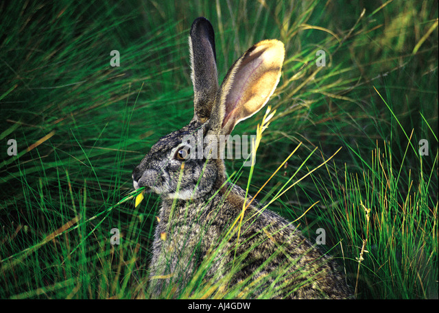 Alert African Cape Hare sitting in long grass with its ears up Helderberg Nature Reserve Somerset West South Africa - Stock Image