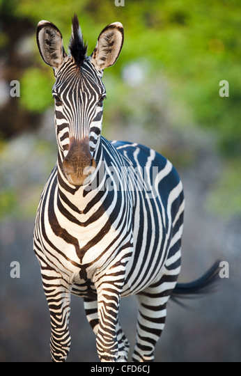 Crawshay's Zebra - subspecies of Plains Zebra. On the banks of the Luangwa River. South Luangwa National Park, - Stock Image