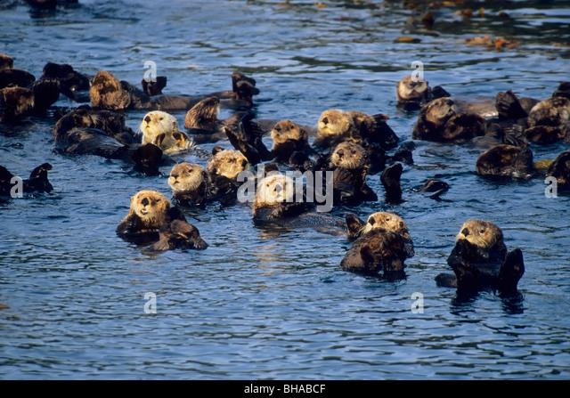 Group of sea otters floating in Sitka Sound, near Sitka, Southeast Alaka, Summer - Stock-Bilder