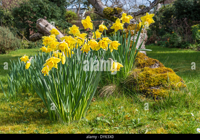 Daffodils growing in garden under old apple tree in spring. Ninth of sequence of 10 (ten) images photographed over - Stock Image