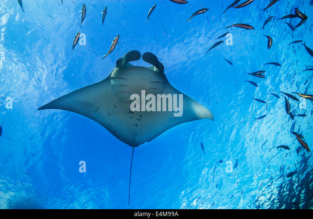 Manta Ray, Manta birostris, swimming below the surface, German Channel, Palau, Micronesia, Pacific Ocean - Stock Image