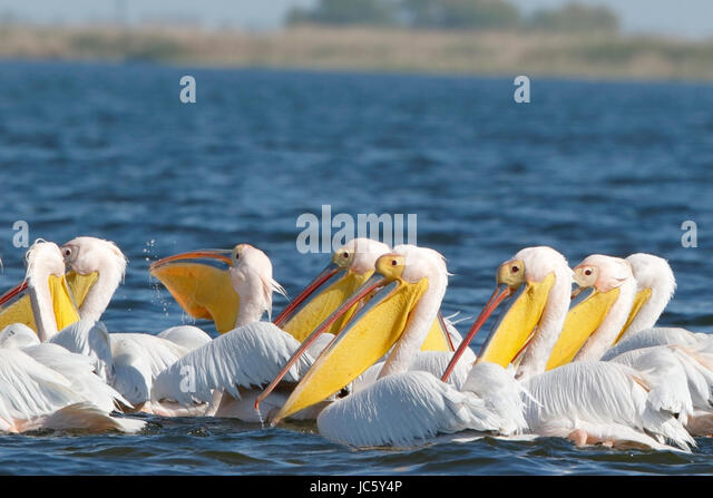 great white pelican (Pelecanus onocrotalus) flock of adults swimming on  river Danube, Romania - Stock Image