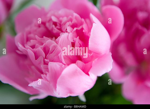 Pink Peony Latin Name: Paeonia - Stock Image
