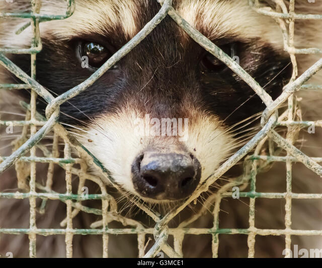 the sad  look  of a raccon trapped behind the cage that dreams of freedom - Stock Image