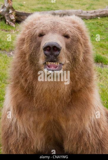 Kodiak Grizzly Stock Photos & Kodiak Grizzly Stock Images ...