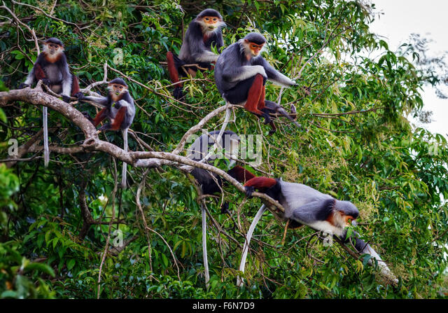 Red-shanked douc family group feeding in the canopy at Son Tra nature reserve in Vietnam - Stock-Bilder