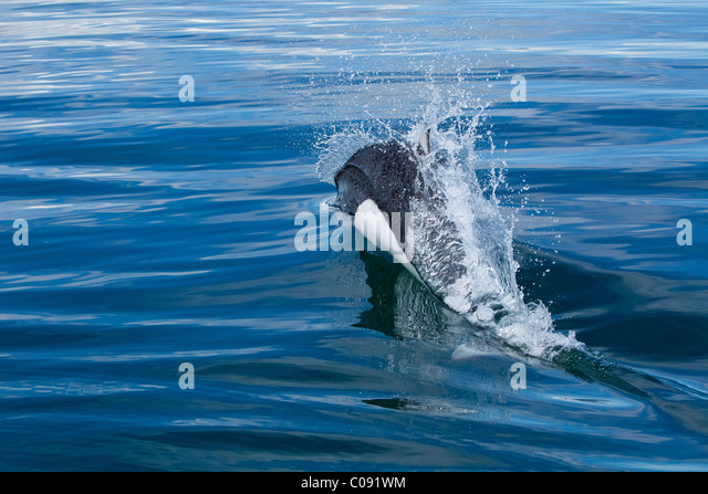 A roostertail of water flys as a Dall's Porpoise races across the surface of Seymour Canal, Inside Passage, - Stock Image