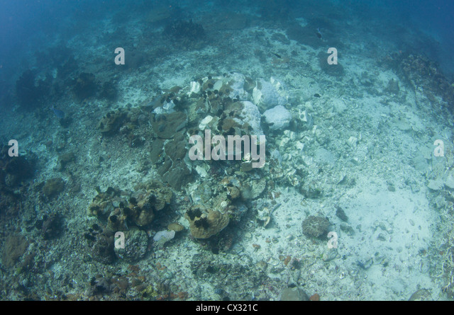 A dynamited coral head with dead fish on the bottom, destroyed by dynamite fishing on the outskirts of Komodo National - Stock Image