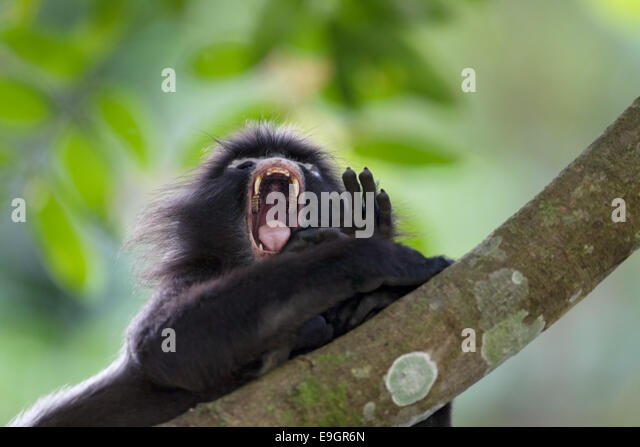 An adult male Dusky leaf monkey (Trachypithecus obscurus) yawns before taking a nap - Stock Image