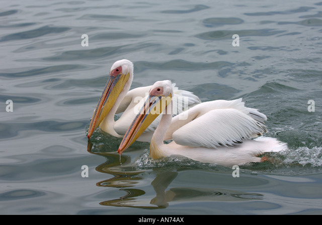 Great white pelican Pelecanus onocrotalus adults swimming Walvis Bay Namibia November - Stock Image