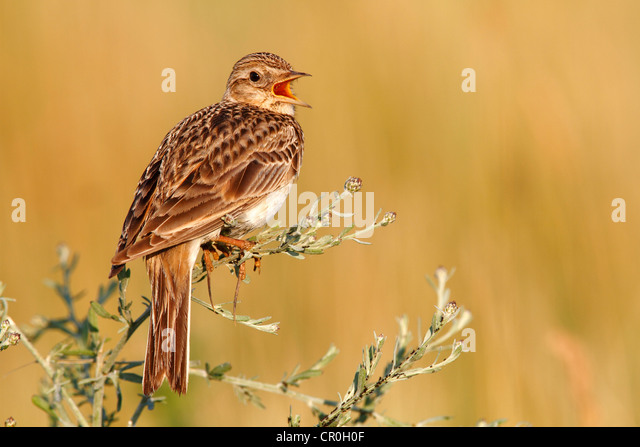 Skylark (Alauda arvensis), perched on a grassy plant, singing, Apetlon, Lake Neusiedl, Burgenland, Austria, Europe - Stock Image