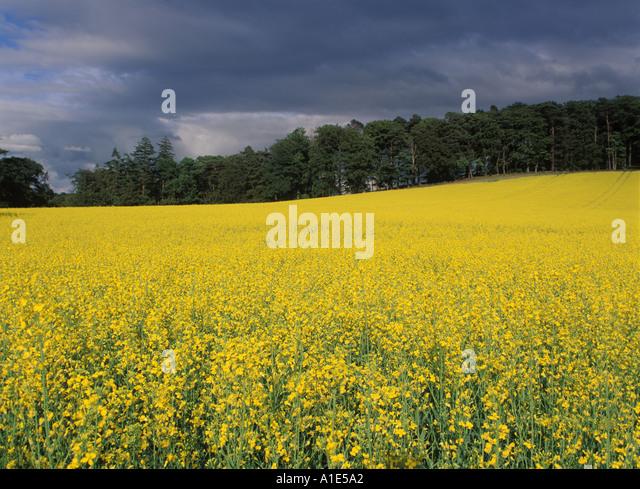 field of oilseed rape in UK landscape - Stock-Bilder