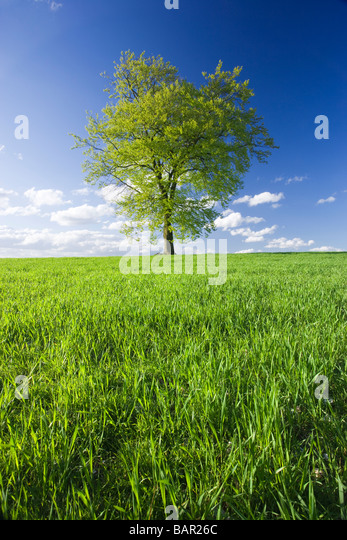 Single beech tree in field of young crop. Surrey, UK. - Stock-Bilder