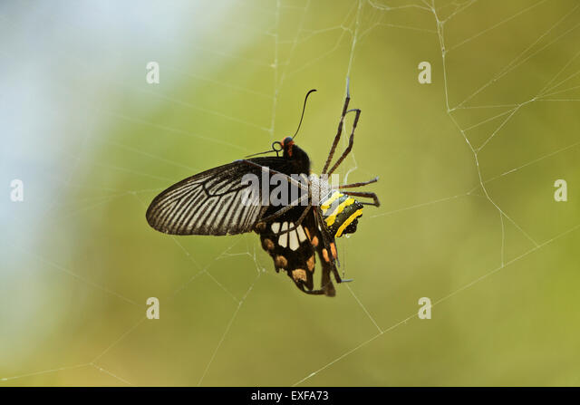 Signature spider (Argiope anasuja) injecting its venom into Crimson Rose butterfly (Pachliopta hector), Kerala, - Stock Image