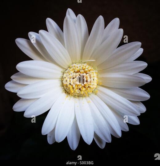 Simple, White Gerbera Daisy - Stock Image