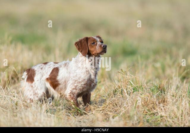 French brittany spaniel hunting