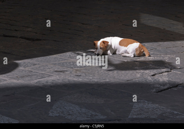 A brown and white dog sleeps in the rays of sunlight on a street in Florence, Italy. - Stock Image