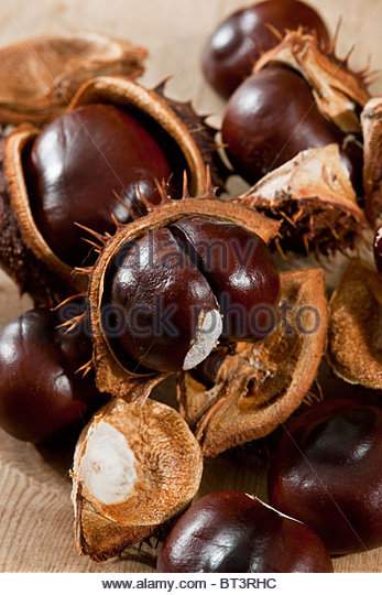 conkers seeds seed still life casings shells open Horsechestnut Aesculus hippocastanum autumn fall tall large deciduous - Stock Image
