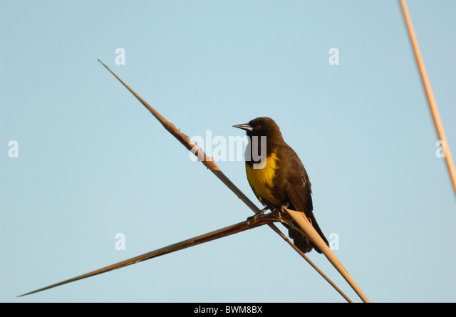 Argentina South America Brown-and-yellow Marshbird Pseudoleistes virescens Lago Ibera Esteros del Ibera Carlos P - Stock Image