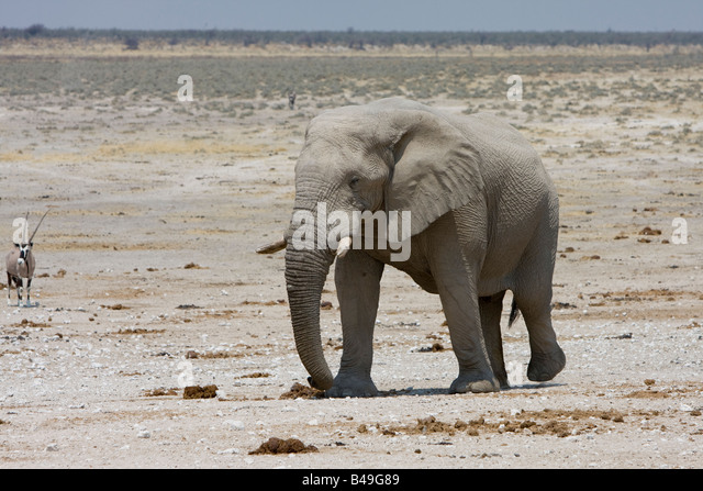 African Elephant Loxodonta africana at waterhole Etosha National Park Namibia - Stock Image
